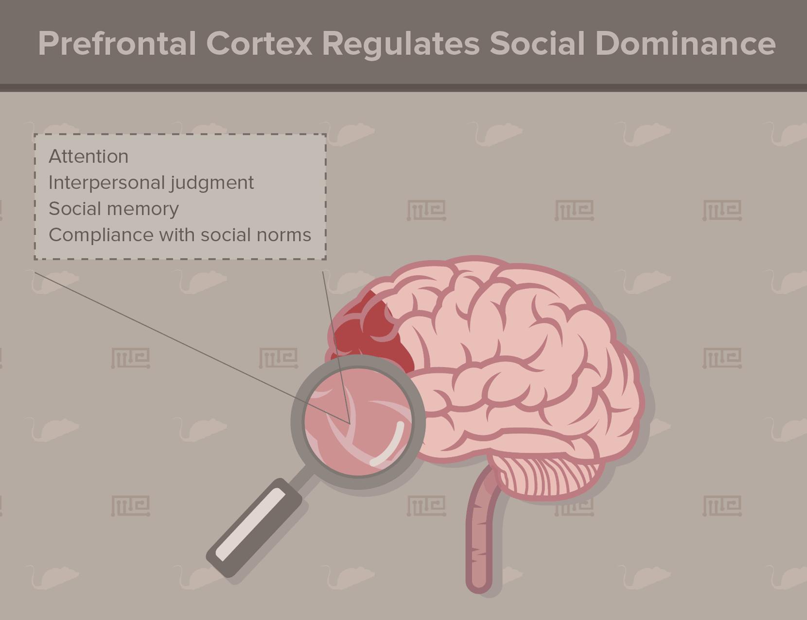 prefrontal cortex-social hierarchy in animals