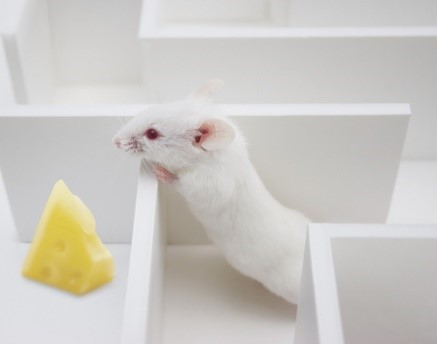 history of behavioral testing with mazes using rats