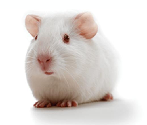 guinea pig animal model fig 4