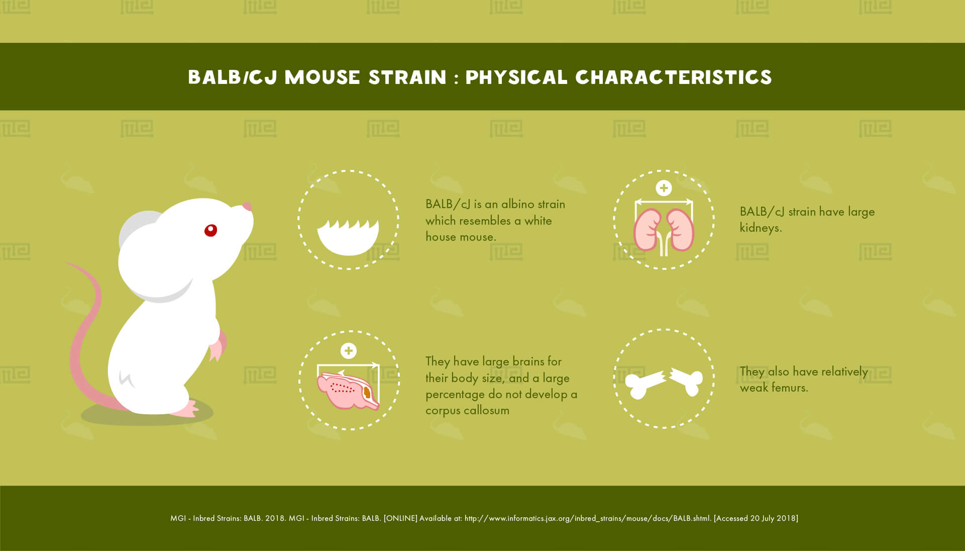 BALB/CJ Mouse Strain : Physical Characteristics