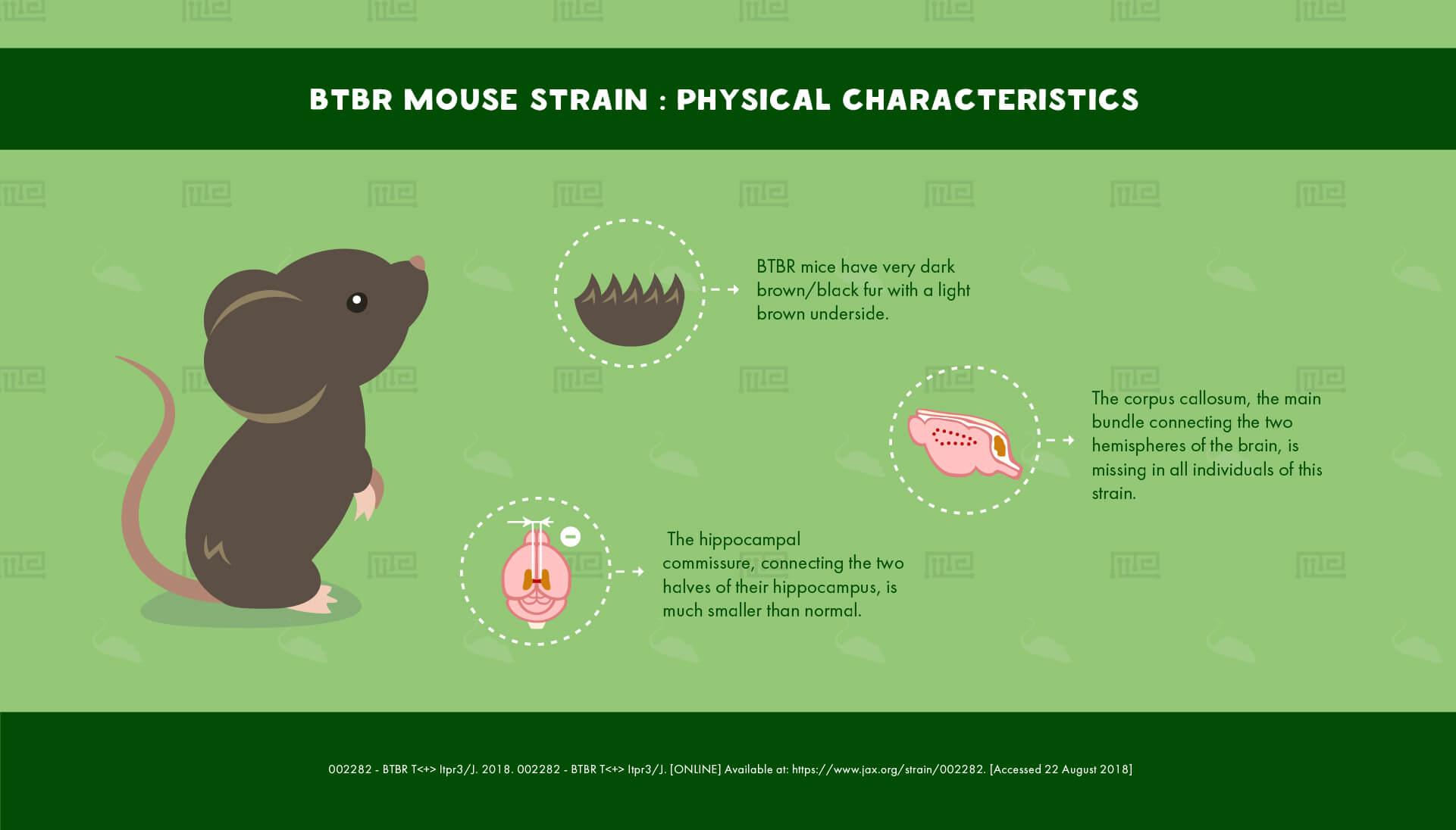 BTBR Mouse Strain : Physical Characteristics